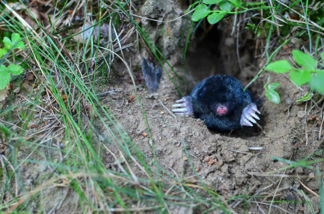 Mole climbing out of its hole
