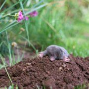 Mole out of its hole